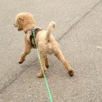 Hund zieht an der Leine beim Mantrailing