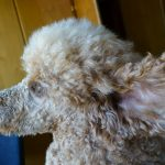 hochgehobenes Hundeohr / Pudelohr mit Haaren