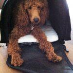 Klein-Merlin-Pudel in der Hundetasche