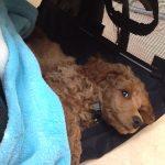 """Kleinpudel mit 2 Monaten in der Hundetasche """"Sturdibag"""""""