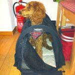 """Kleinpudel mit 5 Monaten in der Hundetasche """"Sturdibag"""""""