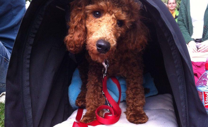 Merlin-Pudelkind in der Hundetasche