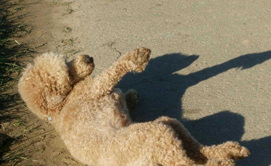 Hundeparfüm – Wenn ein Pudel gut riechen möchte, muss er im Mist wälzen