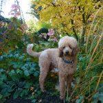 Herbstpudel im Garten