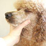Merlin-Pudel lässt sich entspannt den Kopf halten beim Frisieren