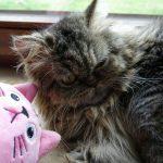 Perserkatze Imici mit rosa Katze