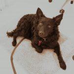 kroatischer Schäferhund Igor-guckt