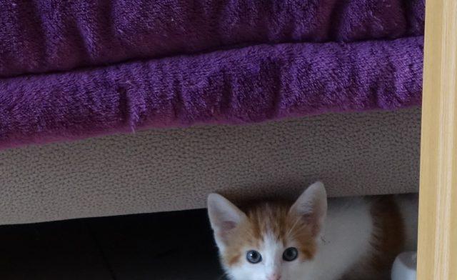 Zwergpudelwelpe und Kätzchen