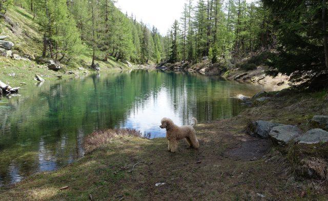 Merlin-Pudel im im Knylag, Lötschental im Frühsommer – Impressionen