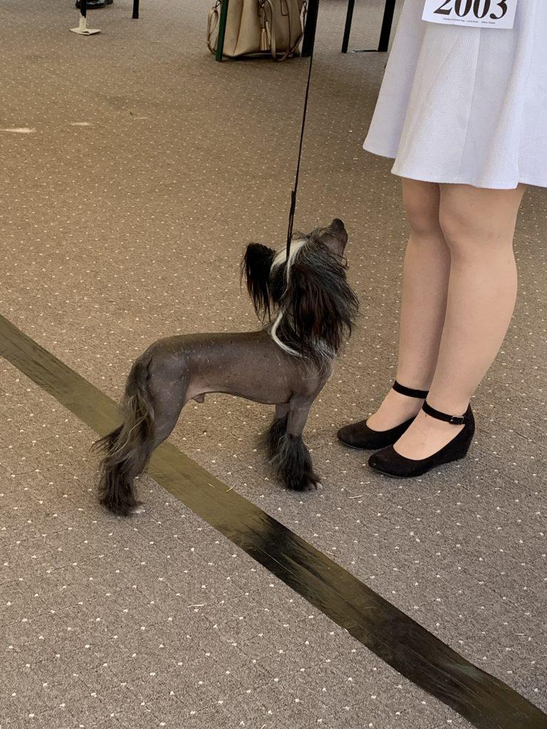 Hund mit wenig Haaren auf der Hundeausstellung Ludwigshafen