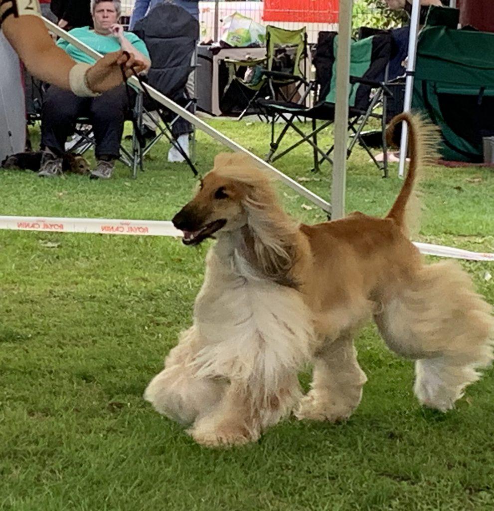 Windhund auf der Hundeausstellung Ludwigshafen