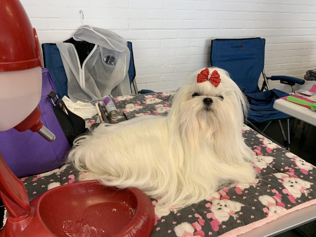 Hund mit vielen Haaren auf der Hundeausstellung Ludwigshafen