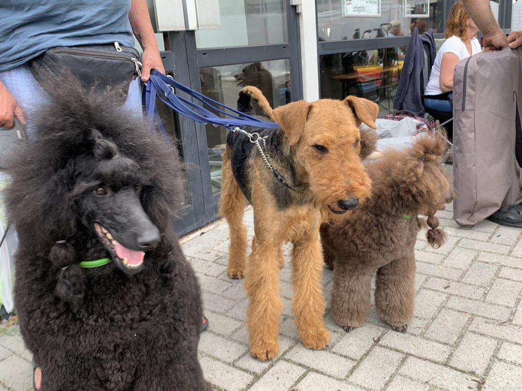 Pudel und andere Hunde Ausstellung Ludwigshafen